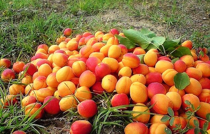 Народная медицина прошлого: Что лечили в Азербайджане с помощью абрикоса