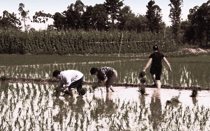 Народная медицина прошлого: что лечили в Азербайджане с помощью риса