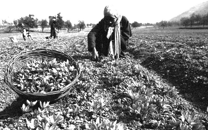 О возделывании шафрана на Абшероне в XIX - начале XX вв.